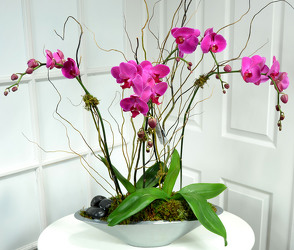 Phalaenopsis Orchid Garden White or Lavender Int. Special from Dallas Sympathy Florist in Dallas, TX