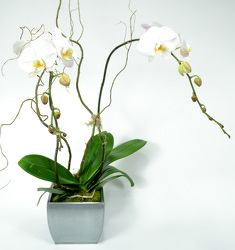 Elegant Palaenopsis Orchid in Silver Metal Contianer from Dallas Sympathy Florist in Dallas, TX