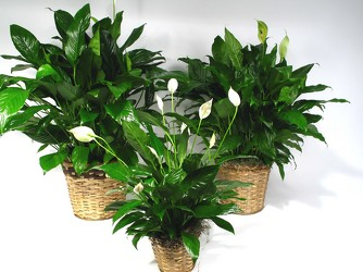 Spathiphyllum Plant from Dallas Sympathy Florist in Dallas, TX