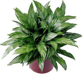 Chinese Evergreen from Dallas Sympathy Florist in Dallas, TX